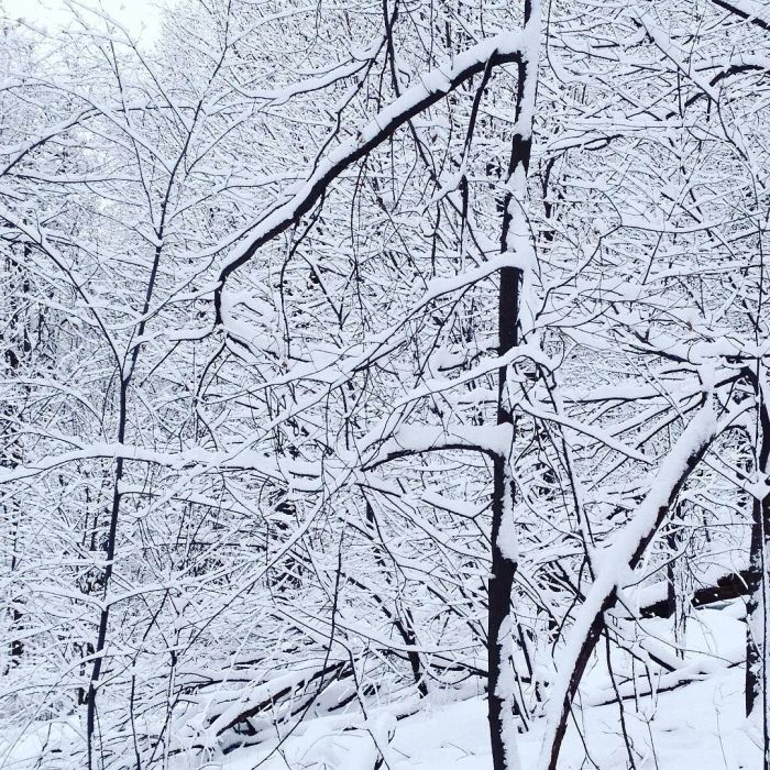 A tangle of small tree branches covered in snow.