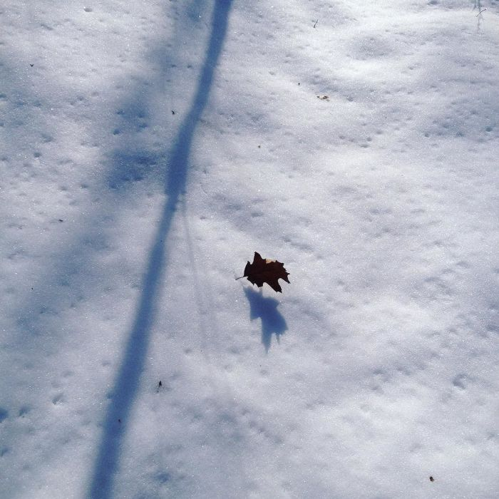 An oak leaf anchored to the snow by its stem.