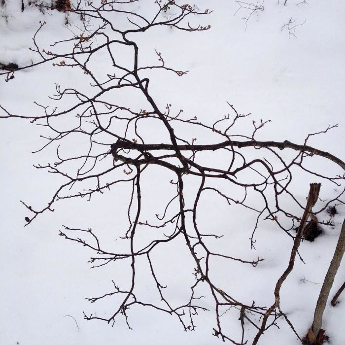 The curved and twisted branches of a bush against the snow.