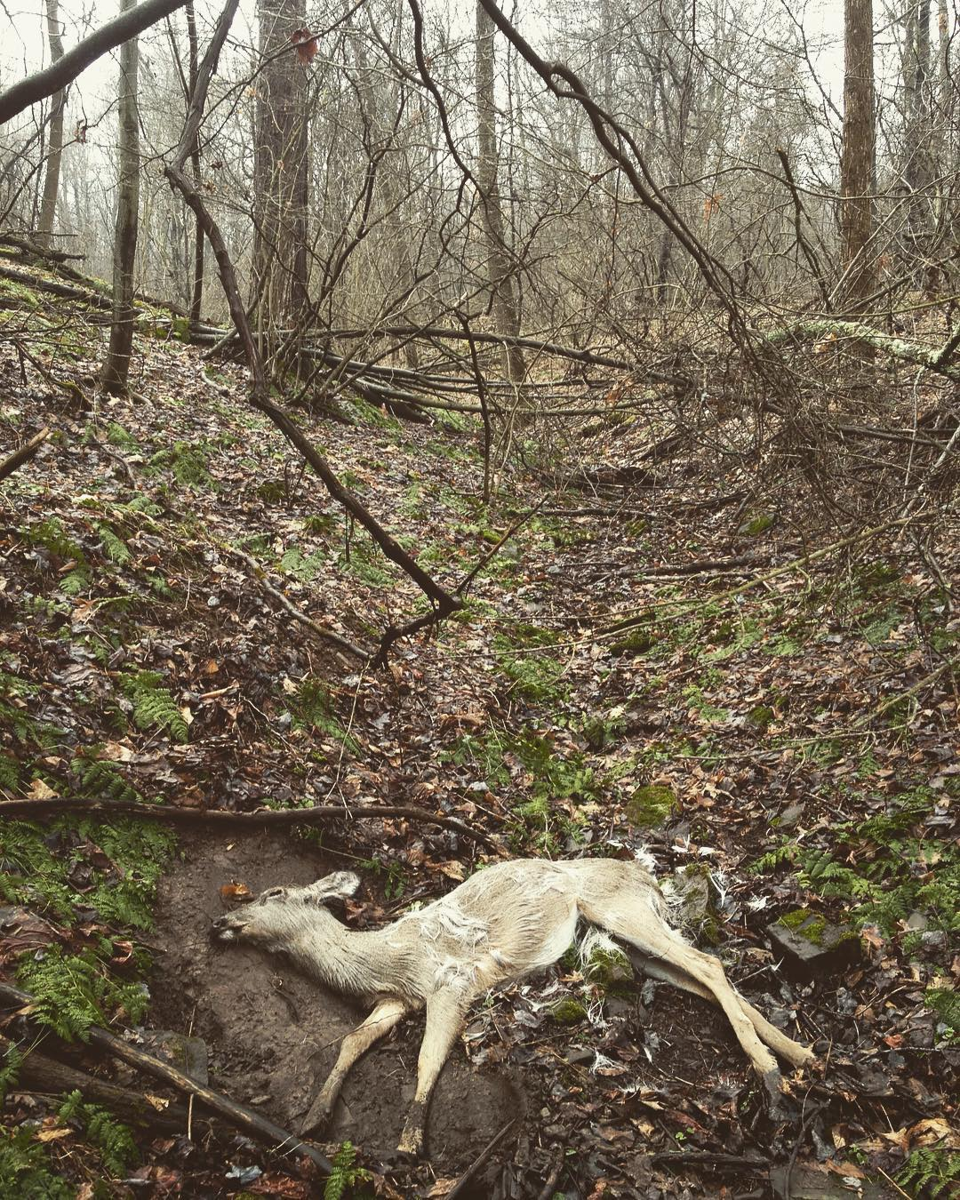 A dead white-tailed deer lying on its side on a steep mountainside in early spring.