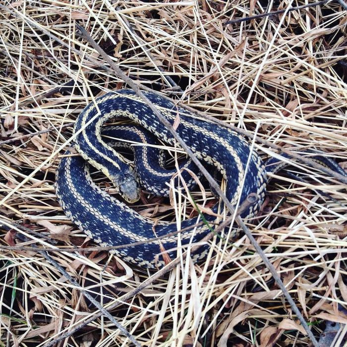 A garter snake coiled in a defensive posture in the dead grass.