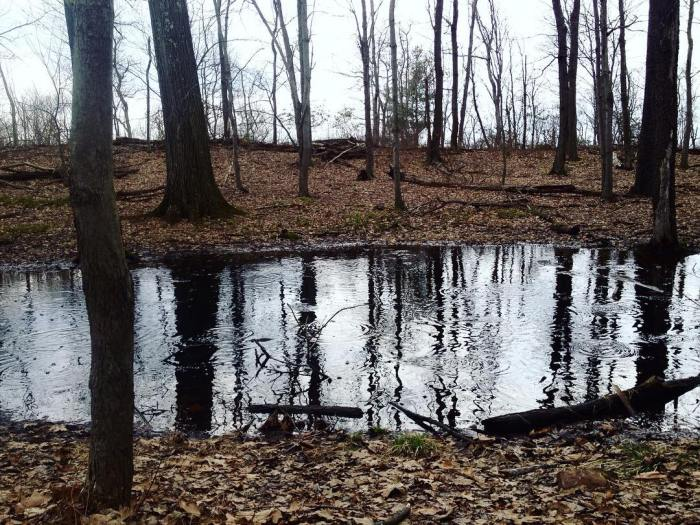 A small woodland pool dotted with wood frogs and criss-crossed by ripples.