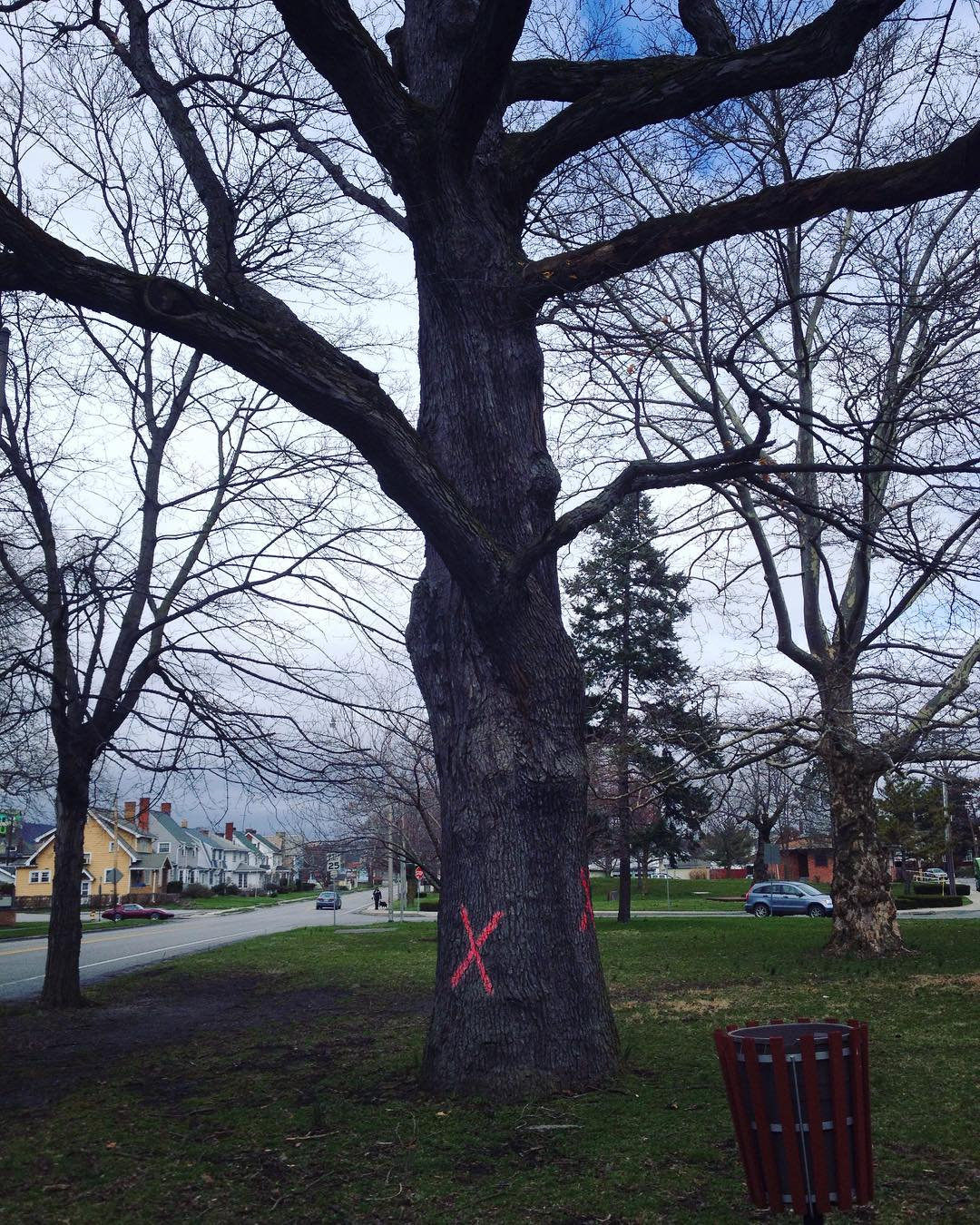 A huge white oak at the edge of a park with red X's painted on its trunk.