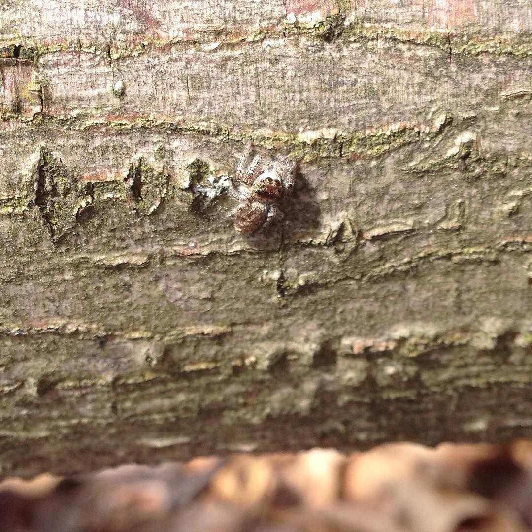 A tiny gray spider disguised against the bark of a log.