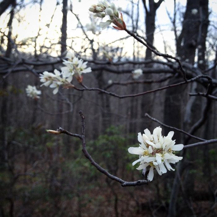 Close-up of a cluster of shadbush blossoms with the dark woods in the background.