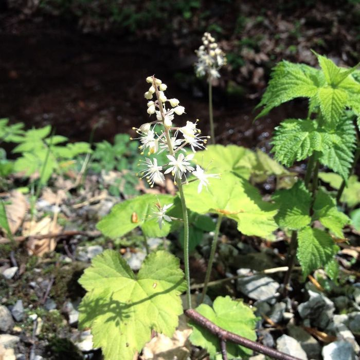 Foamflowers beside a stream.