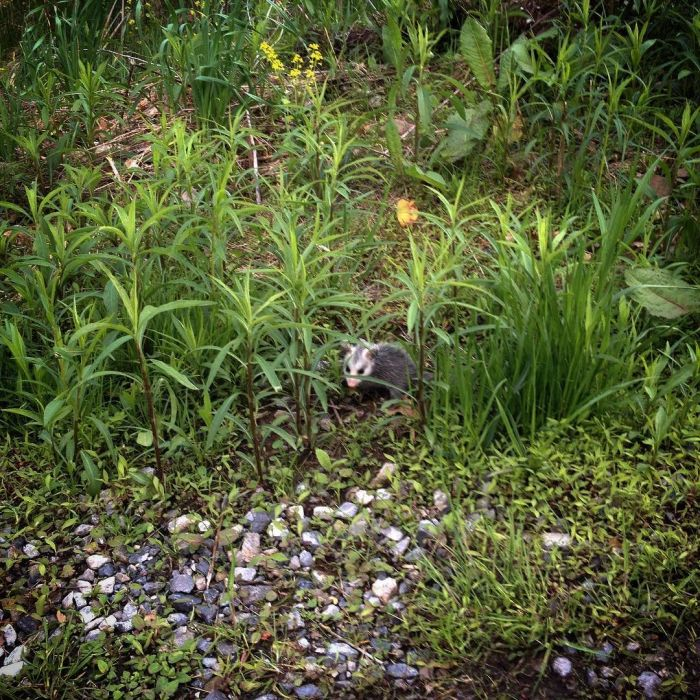 A young opossum in the meadow staring back at the camera.