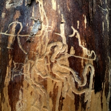 asemic markings on bark