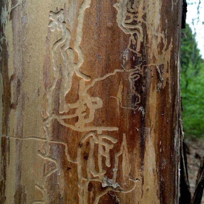 asemic markings on bark