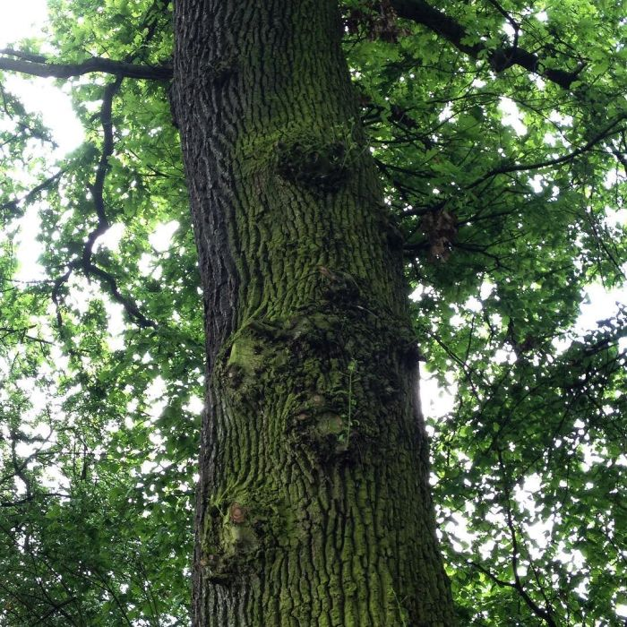 The mossy trunk of an oak tree with face-like burls.