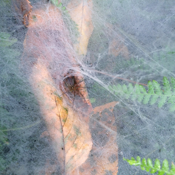 funnel spider in its web, which is dusted with droplets of fog.