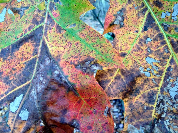 close-up of two oak leaves with a little green remaining among the orange and red