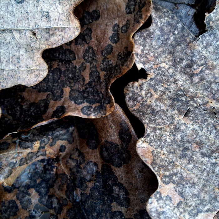 Fallen chestnut oak leaves freckled with dark mold spots.
