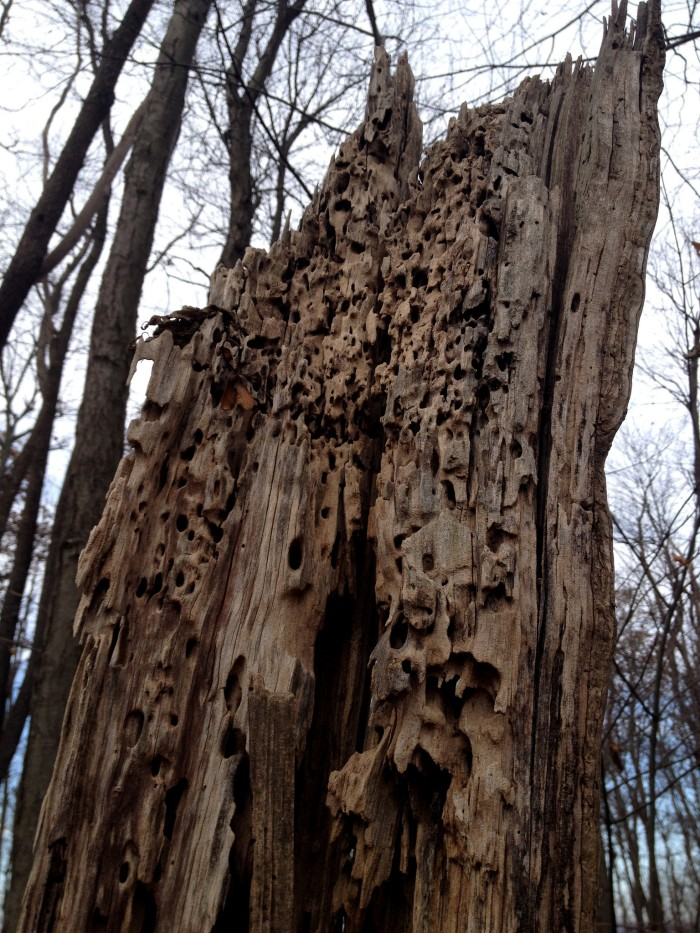 carpenter ant galleries in a dead oak snag in the forest