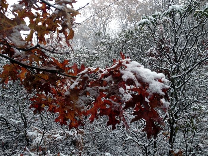 scarlet oak leaves covered with snow