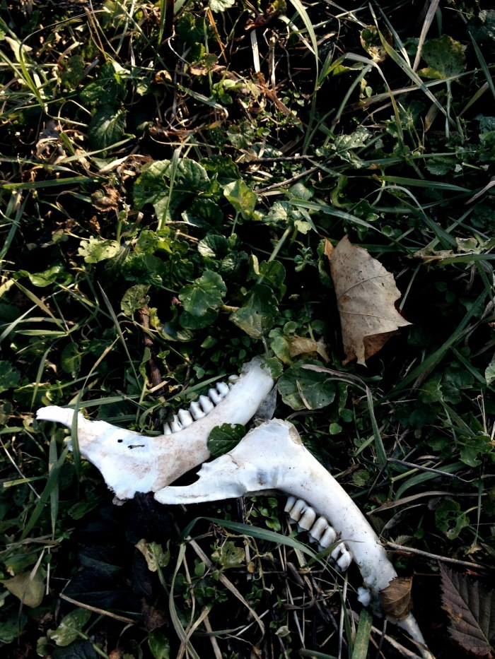 deer jawbones lying in the weeds at right angles