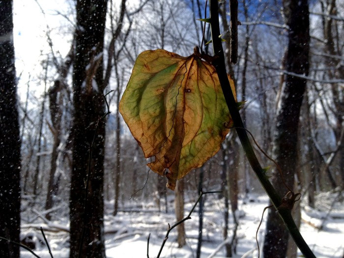 A greenbriar leaf in autumn colors in a snowy woods.