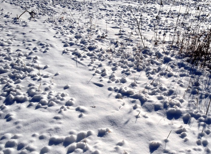 Snow on a moved field forms tent-shaped mounds around each stubble tip.