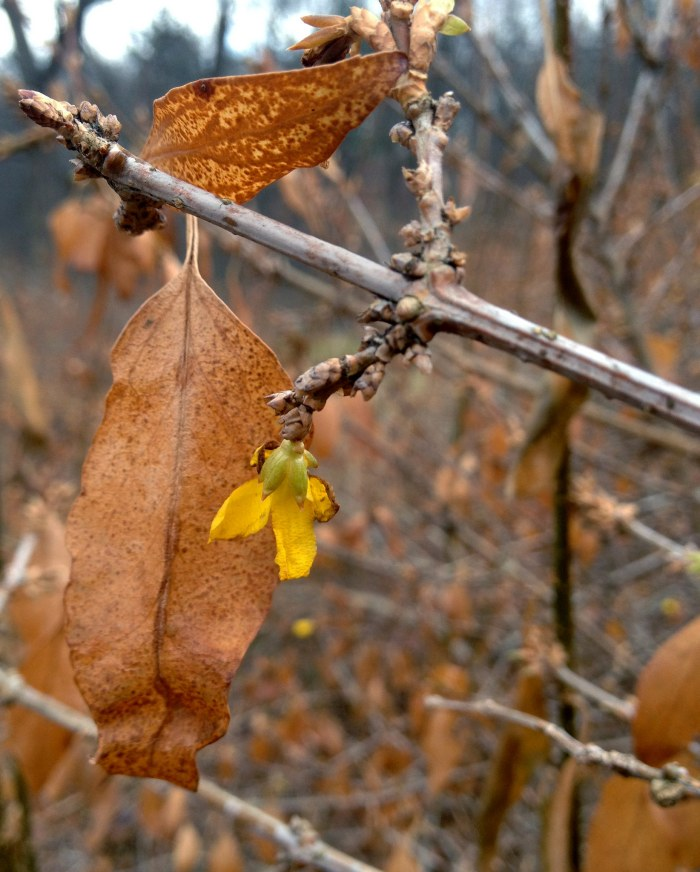 Yellow forsythia blossom among brown leaves.