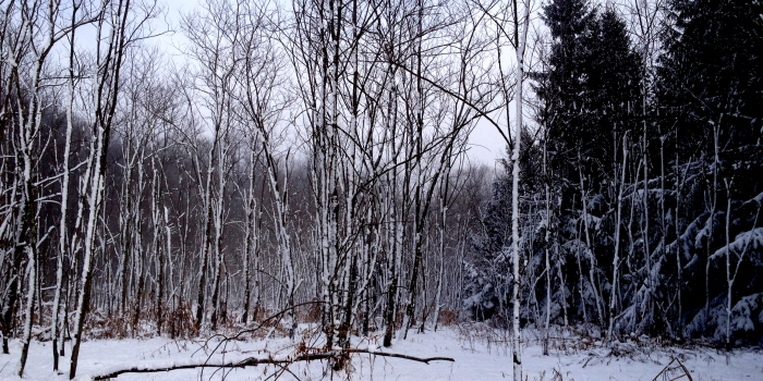 snow plastered to the sides of skinny trees and evergreens