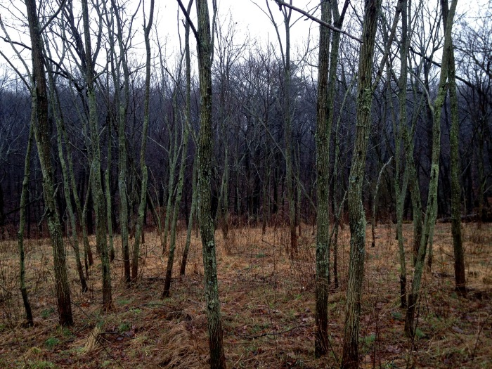 a grove of young locust trees with pale green trunks against a dark woods