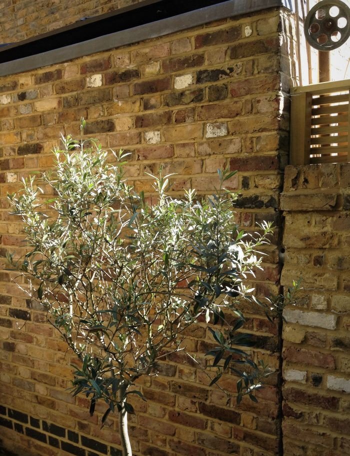 small olive tree suffused with sunlight next to a wall