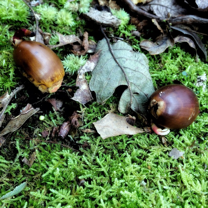 two brown acorns with little pink sprouts poking into the moss