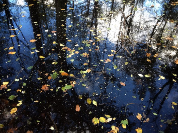 reflections of trees and sky in a forest pool dotted with fallen leaves