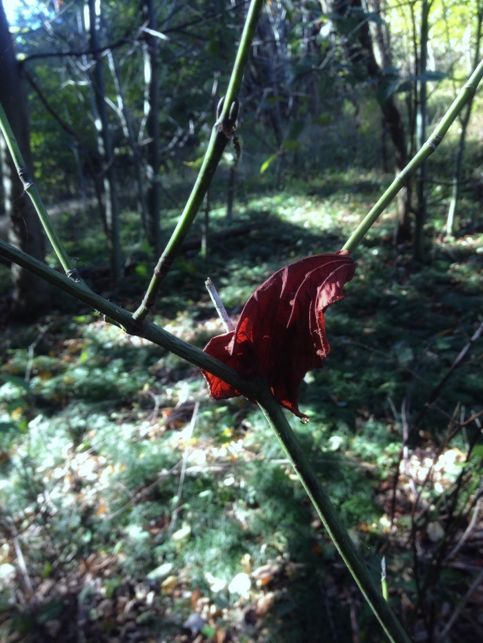 a blood-red leaf impaled on a dead twig of striped maple