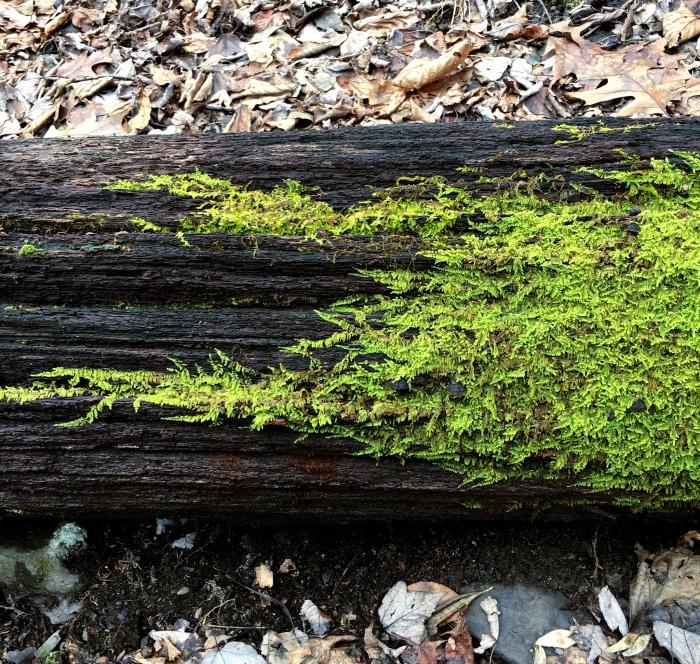 ferny moss spreading across a rotten log