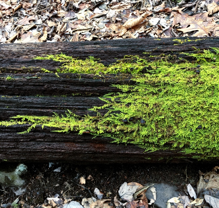 ferny moss spreading across a rotten log