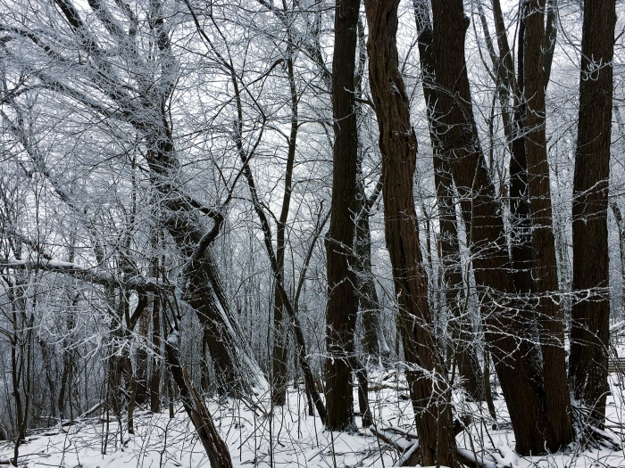 trees covered with hoarfrost in the snow
