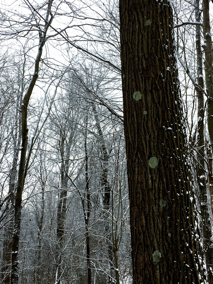 tree trunk in a snowy woods with several, widely spaced circles of bluish green lichen