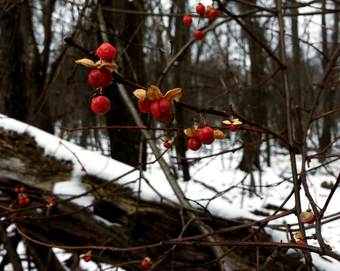 American bittersweet berries against the snow