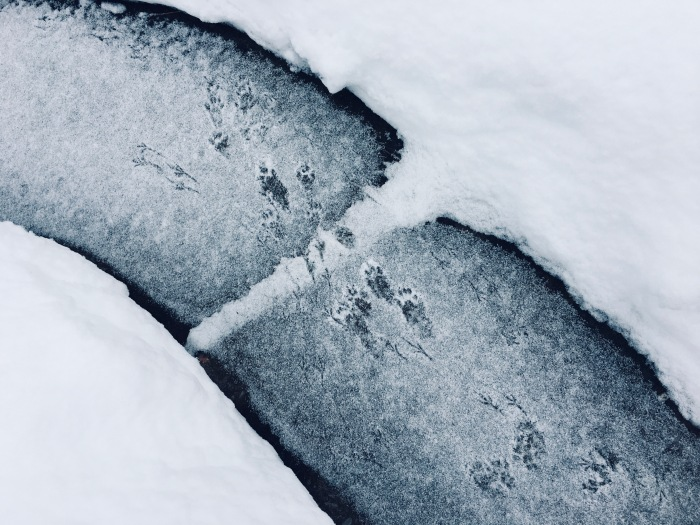 A section of shoveled sidewalk with bird and squirrel tracks in a fresh dusting of snow