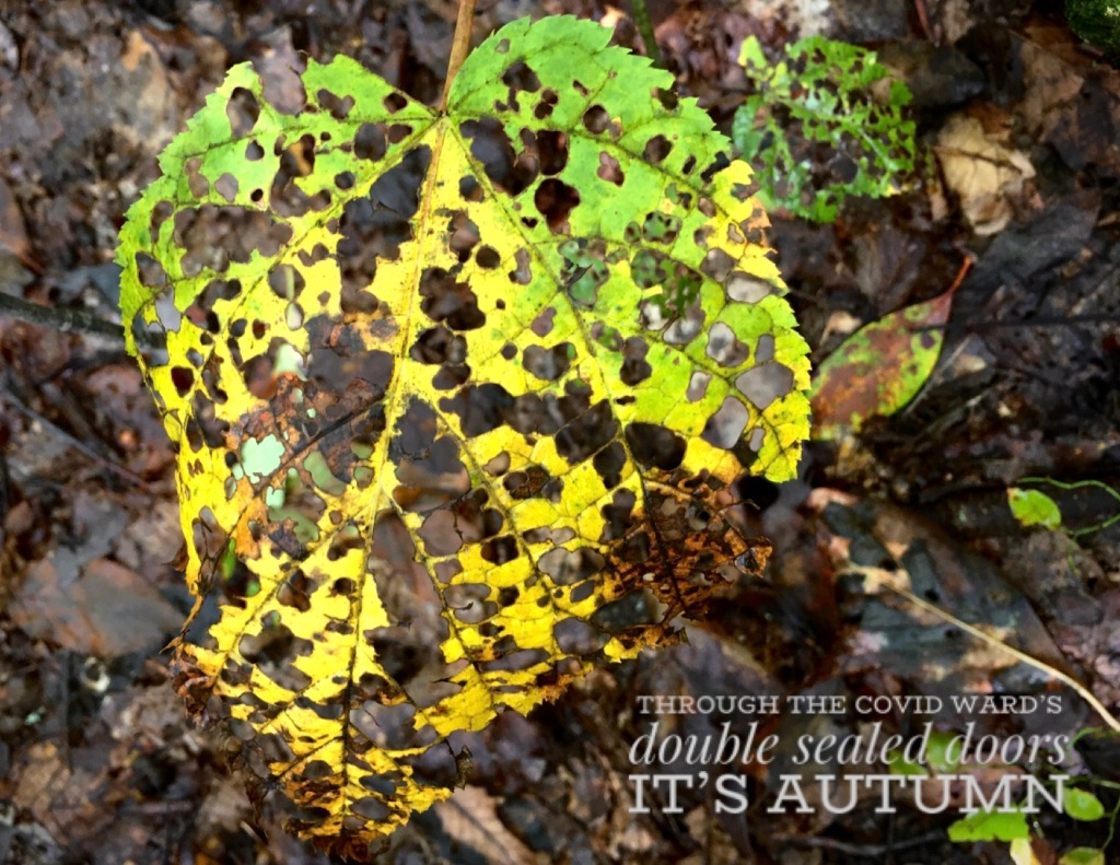 A heart-shaped yellow leaf eaten apart by insects